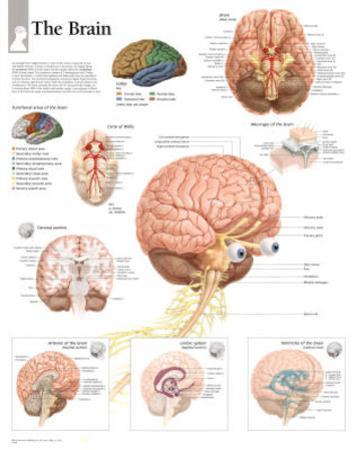 The Human Brain Educational Chart Poster