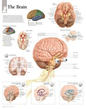 The Human Brain Educational Chart Poster