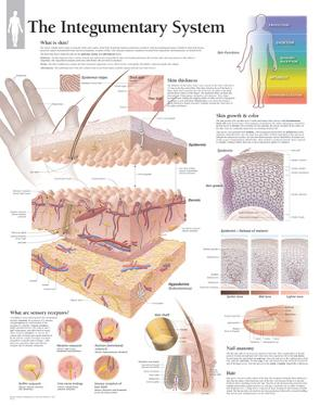 The Integumentary System Wall Laminated Poster