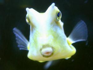 The Lactoria Cornuta, or Cow Fish