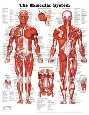 Anatomy charts posters for sale at allposters com