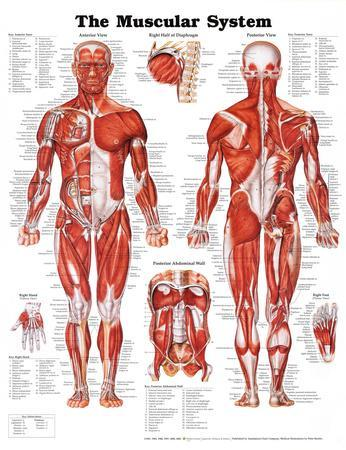 https://imgc.allpostersimages.com/img/posters/the-muscular-system-anatomical-chart_u-L-F5BB1M0.jpg?p=0
