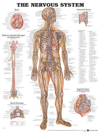 The Nervous System Anatomical Chart Poster