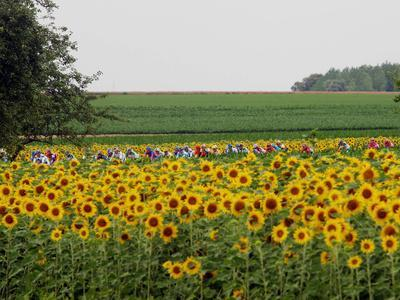 https://imgc.allpostersimages.com/img/posters/the-pack-rides-past-a-sunflower-field-during-the-sixth-stage-of-the-tour-de-france_u-L-Q10OMBQ0.jpg?p=0
