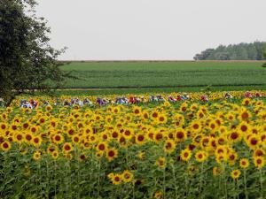 The Pack Rides Past a Sunflower Field During the Sixth Stage of the Tour De France