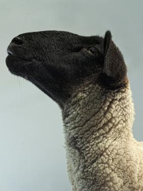 Black Faced Sheep in Profile by The Plummer-Kennedy Conspiracy