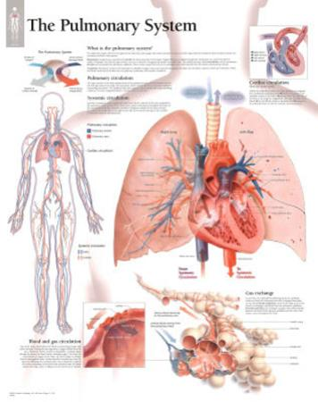 The Pulmonary System Educational Chart Poster