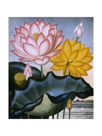 https://imgc.allpostersimages.com/img/posters/the-sacred-egyptian-bean-lotus_u-L-PSCRY20.jpg?p=0