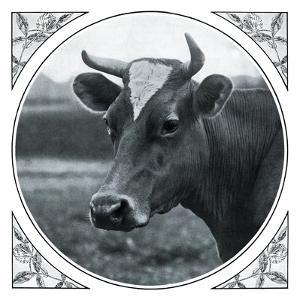 Cow Photograph by The Saturday Evening Post