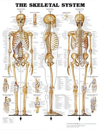 Anatomy charts posters at allposters com