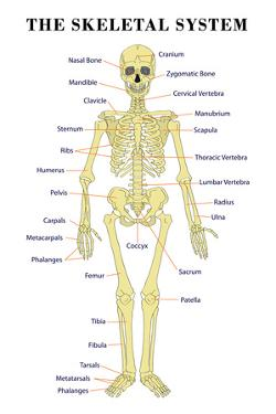 The Skeletal System Anatomical Chart Scientific