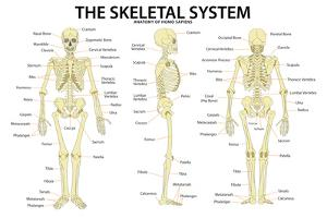 The Skeletal System Anatomy and Physiology Science Chart