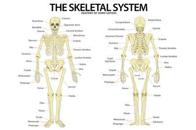 https://imgc.allpostersimages.com/img/posters/the-skeletal-system-anterior-andior-view-anatomical-chart-scientific_u-L-PYAU6P0.jpg?artPerspective=n
