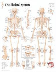 Affordable Anatomy Posters for sale at AllPosters.com
