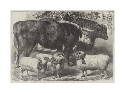 https://imgc.allpostersimages.com/img/posters/the-smithfield-club-cattle-show-prize-cattle-and-sheep-at-the-agricultural-hall-islington_u-L-PUSM240.jpg?p=0
