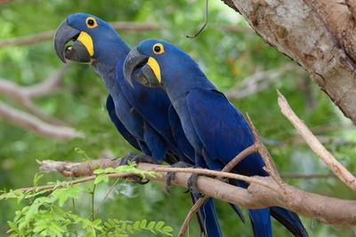 https://imgc.allpostersimages.com/img/posters/the-two-hyacinth-macaw_u-L-PIIQSD0.jpg?p=0
