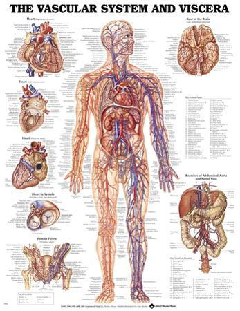 The Vascular System And Viscera Anatomical Chart Poster