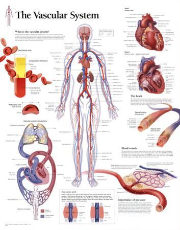 The Vascular System Educational Chart Poster