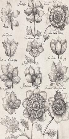 Anemone Cultivars by The Vintage Collection