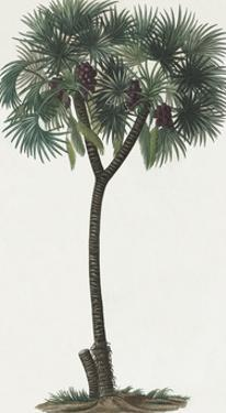Dattier Palm by The Vintage Collection