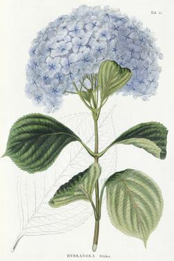 Hydrangea Otaksa by The Vintage Collection