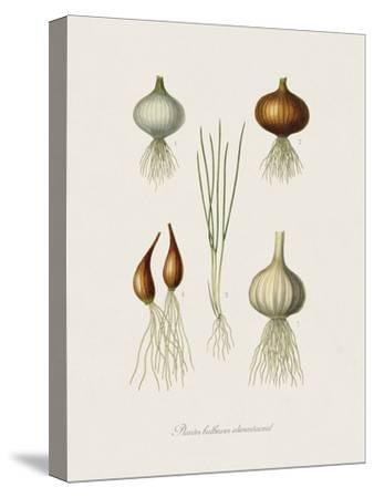 Plantes Bulbeuses Alimentaireal