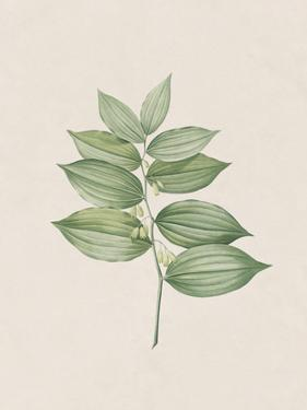 Polygonatum Latifolium by The Vintage Collection