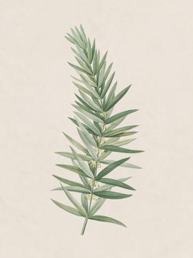 Polygonatum Verticillatum by The Vintage Collection