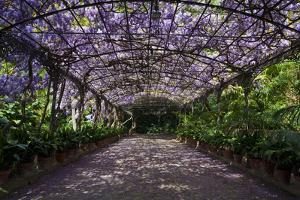 The Wisteria Arbour in Full Bloom