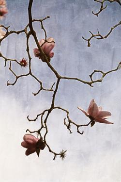 Tulip Magnolia 2 by Thea Schrack