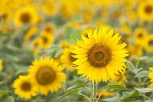 Sunflower by themanofsteel