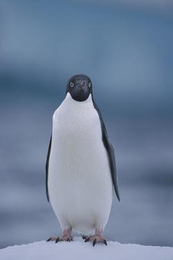 Adelie Penguin on Ice by Theo Allofs