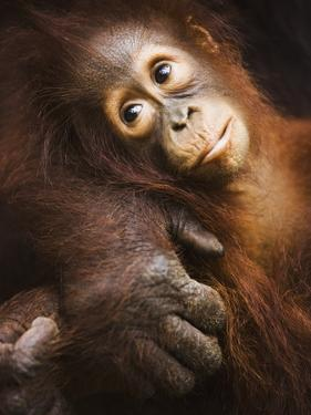 Baby orangutan by Theo Allofs
