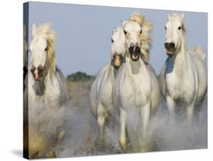 Camargue horses running by Theo Allofs