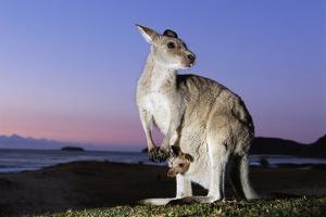 Eastern Gray Kangaroo by Theo Allofs
