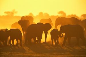 ELEPHANT HERD (Loxodonta Africana), CHOBE NATIONAL Park, BOTSWANA by Theo Allofs