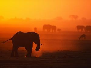 Elephant Herd Silhouetted Against Orange Sky by Theo Allofs