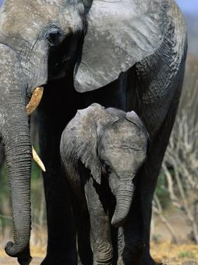 Elephant Mother and Calf by Theo Allofs