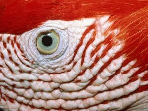 Eye of scarlet macaw by Theo Allofs