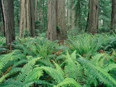 Ferns in forest, Redwood National Park, California, USA