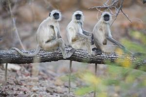 Gray Langurs Perched on Tree Limb by Theo Allofs