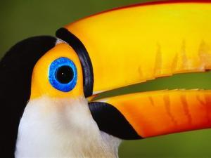 Head and Beak of a Toco Toucan by Theo Allofs