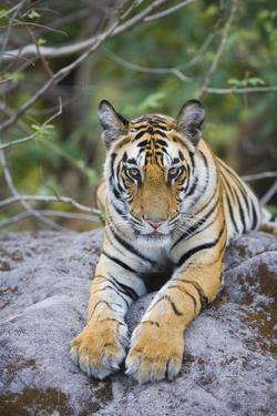 India, Bandhavgarh National Park, Tiger Cub Lying on Rock by Theo Allofs