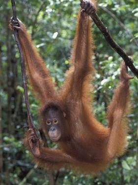 Juvenile Orangutan Swinging Between Branches in Tanjung National Park, Borneo by Theo Allofs
