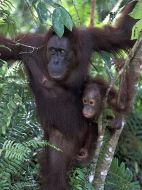 Orangutan Mother and Baby in Tree, Tanjung National Park, Borneo by Theo Allofs
