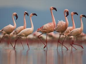 Pink Flamingos in Water by Theo Allofs