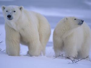 Polar Bear Mother and Cub in Churchill, Manitoba, Canada by Theo Allofs