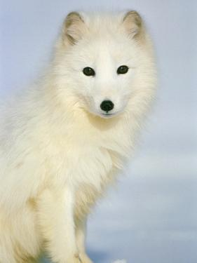 Polar fox sitting in the snow by Theo Allofs