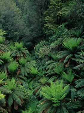 Rain Forest Ferns and Trees by Theo Allofs