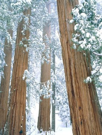 Redwood giants in winter, California, USA
